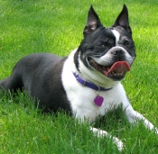 boston terrier1
