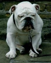 englishbulldog