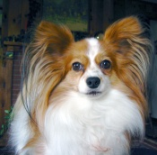 papillon-dog