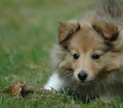 sheltie-puppy